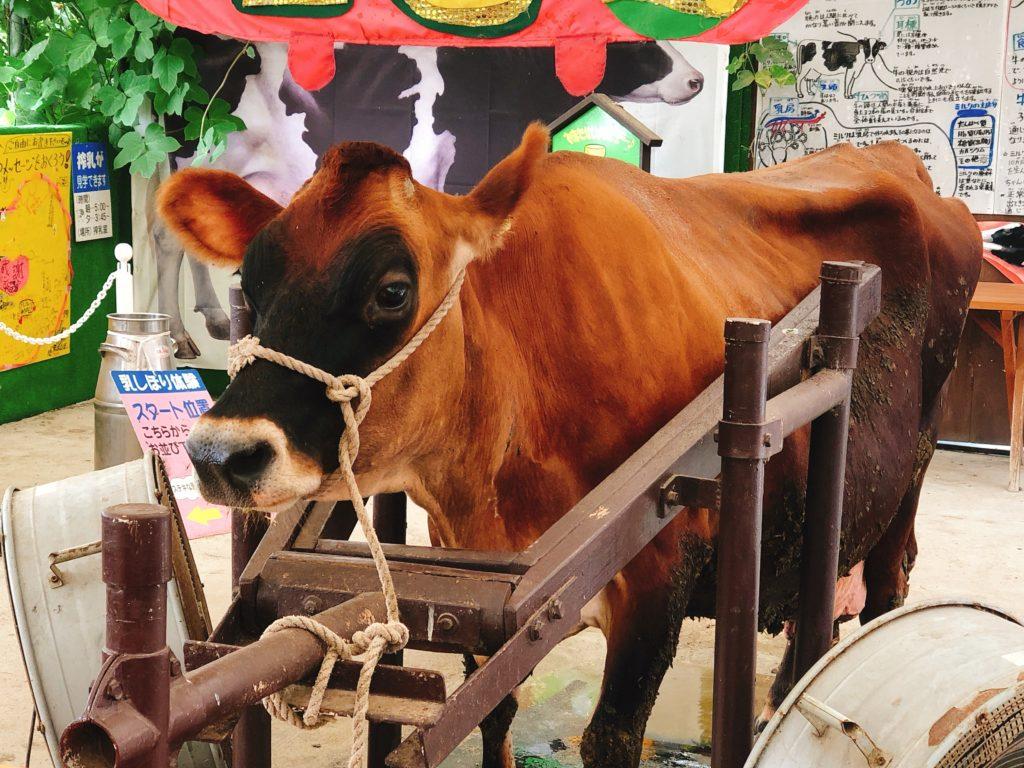 愛知牧場の乳搾り体験